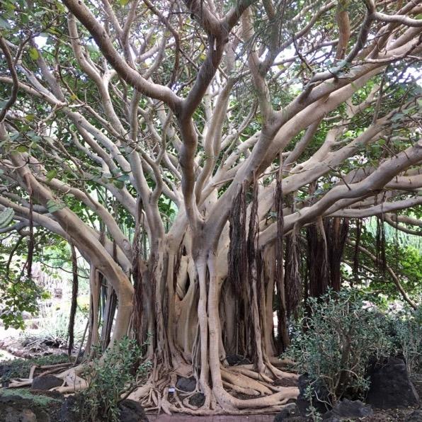 árbol singular en el jardín canario